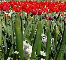 red tulips by finirat