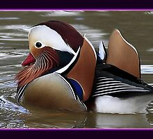 The Mandarin Duck by snapdecisions