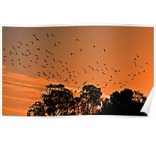 Corella Sunset Poster