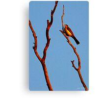 Noisey miner bird Canvas Print