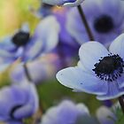 Blue Poppies by salsbells69