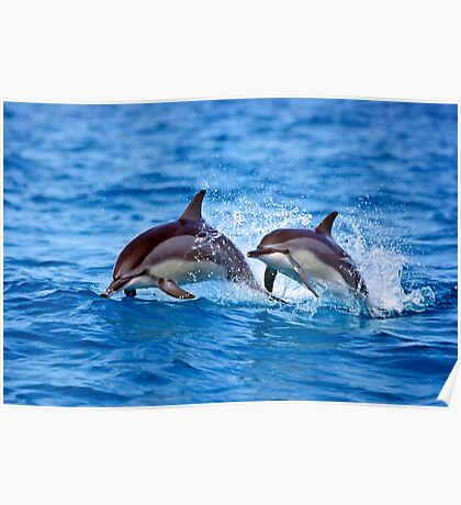 Midway Atoll Spinner Dolphins Poster