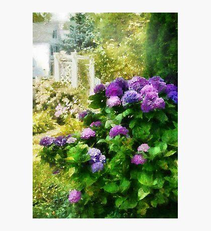 Flower - Lovely Hydrangea  Photographic Print