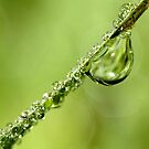 Dripping with dew by Sharon Johnstone