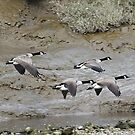 Canada Geese arriving by wizard327