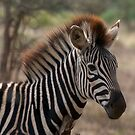 Young Zebra Foal by Neil  Bradfield