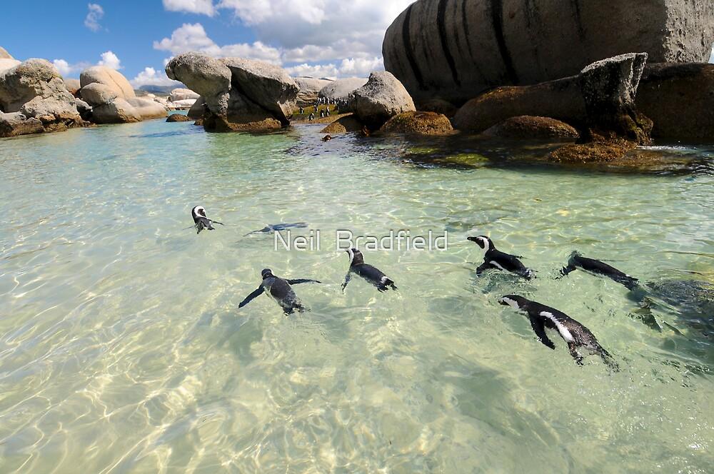 Penguin Swim by Neil  Bradfield