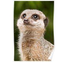 Meerkat (Suricata suricatta) Poster