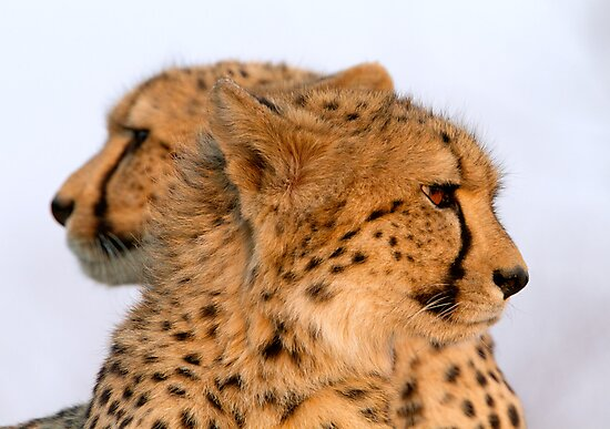 Two Headed Cheetah? by Michael  Moss