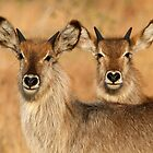 Devilish Waterbucks by Michael  Moss