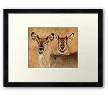 Devilish Waterbucks Framed Print