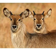 Devilish Waterbucks Photographic Print