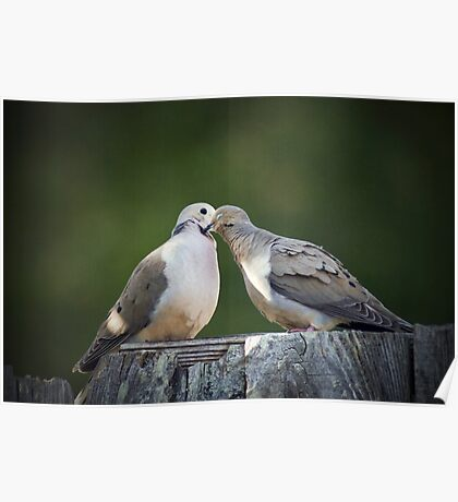 Mourning Dove Kisses Poster