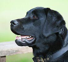 Black Labrador by Elaine123