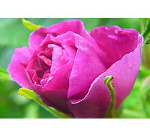 Pink Love--ly Rose Bud Photographic Print