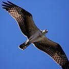 Osprey Flying Overhead by DARRIN ALDRIDGE