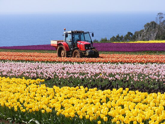 Tractor in a field of colour. by Esther's Art and Photography
