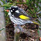 Honeyeater - sweet little bird by EdsMum