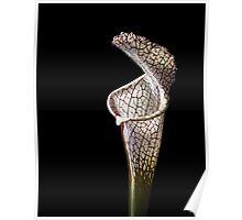 Cobra Lily Poster