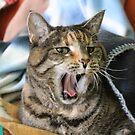Tiggy yawns for the camera by Alyshia Hansen