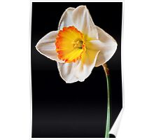 White, Yellow and Orange Daffodil Poster