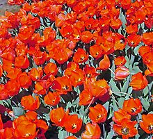 Bed of Orange Tulips by alanball