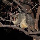 Sydney Brushtail Possum by Alyshia Hansen