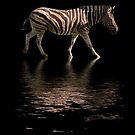 Zebra Reflections by ChiaraLily