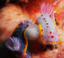 Nudibranchs mating, Jarvis Bay by Juliette Myers