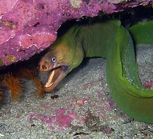 Moray  Eel under rock shelf, Jarvis Bay by Juliette Myers