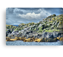 Kittiwakes On Inner Farne ~ Farne Islands Canvas Print