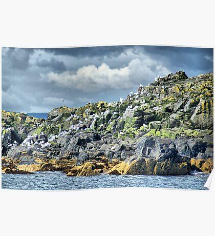 Kittiwakes On Inner Farne ~ Farne Islands Poster