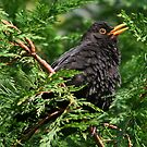 BlackBird Singing (please view large) by AnnDixon