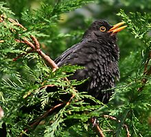 BlackBird Singing (please view large) by AnnDixon