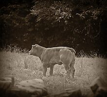 Calf Photographic Print