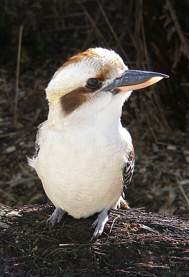 Kookaburra. by Esther's Art and Photography