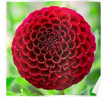 Dahlia In Bloom 6 Poster