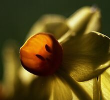 Jonquil, Early Morning by Melissa Holland