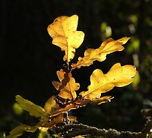 Autumn leaves by photontrappist