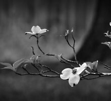 Dogwood Branch 001 BW by Lance Vaughn