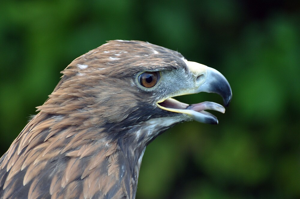 Golden Eagle @ Woolston Show by Chris Monks