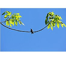 Perched Hummer Photographic Print