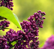 Magenta Lilac - Syringa vulgaris - in late spring by Rosalind Rosewarne