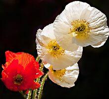 Poppies on Black by Bel Menpes