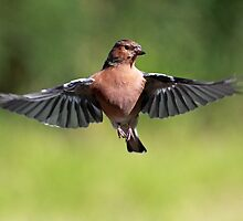 Chaffinch by Grant Glendinning