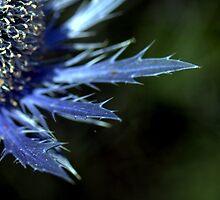 Eryngium blue flowers by Rosalind Rosewarne