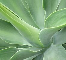 Pale Green Agave Attenuata by Bel Menpes