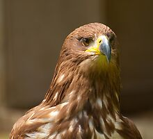 Golden Eagle by Chris Thaxter