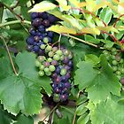 The Grape Vine by Audrey Clarke