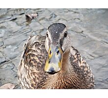 Duck Face!- Mallard Duck at Llangollen Photographic Print